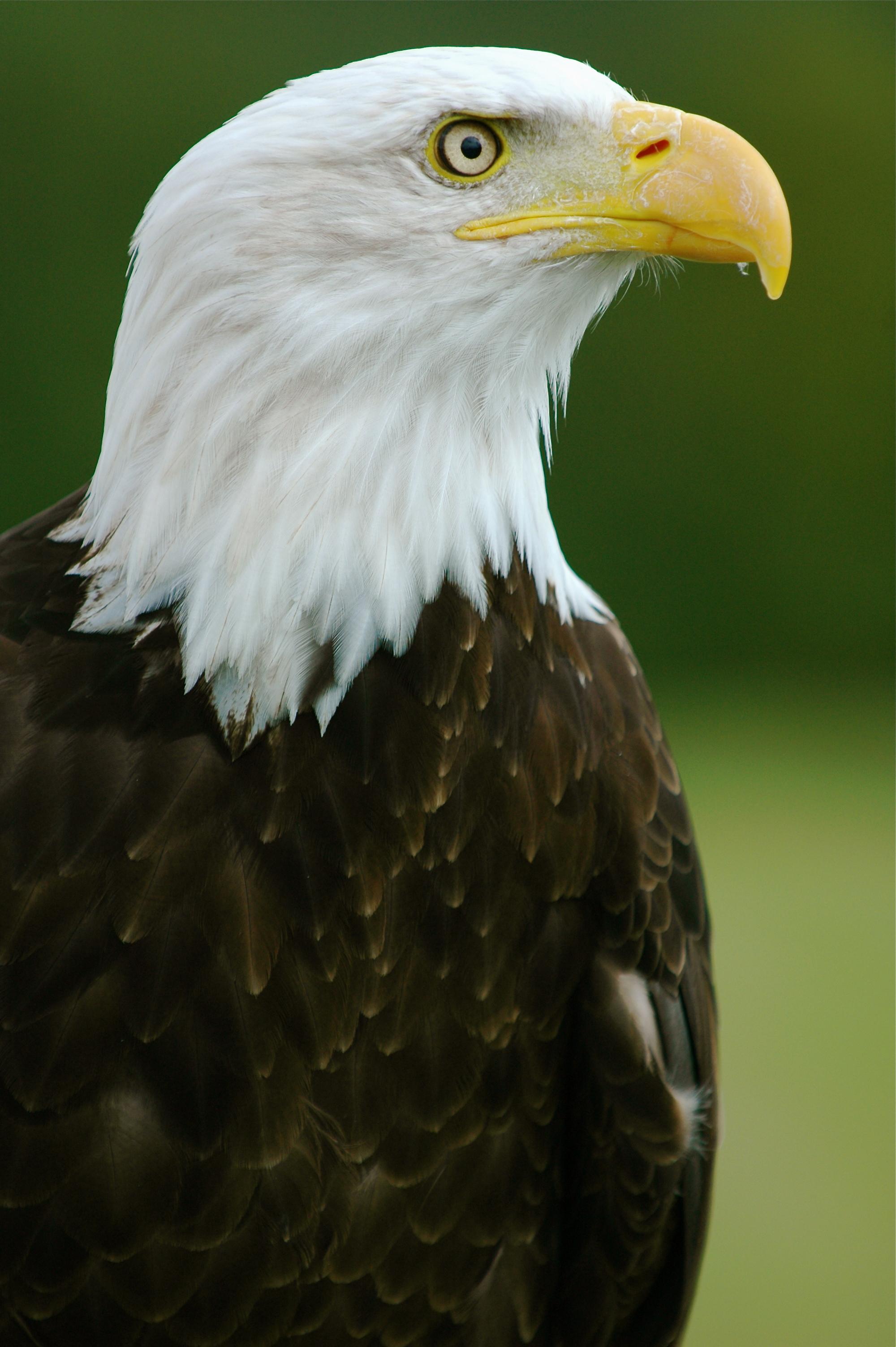 Bald Eagles | Our Urban Jungle