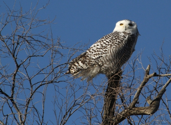 Snowy Owl near Kansas City, Missouri, in 2012.  Photo by Mike Watkins via Wiki Media Commons