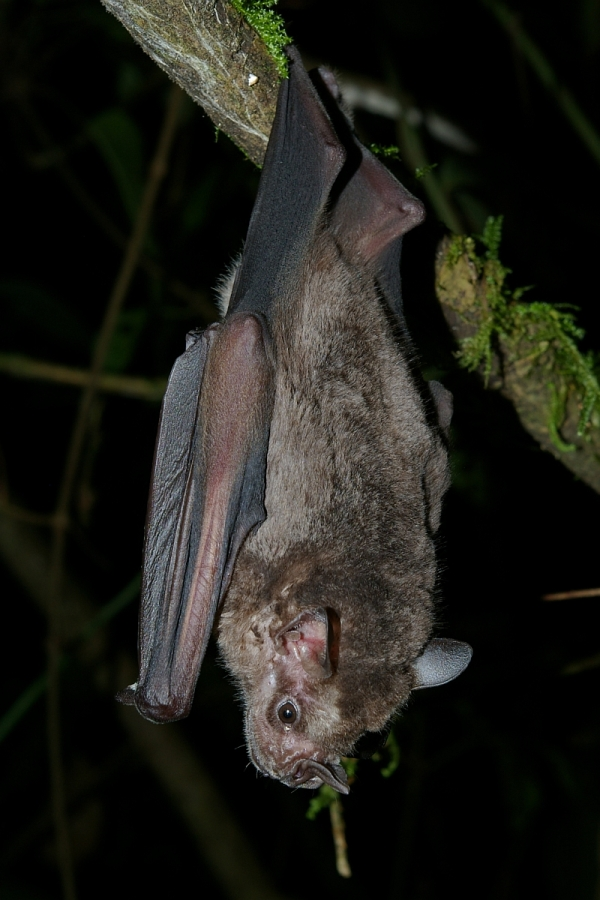 Jamaican fruit bat, Artibeus jamaicensis, By Karin Schneeberger alias Felineora (Own work) [CC-BY-SA-3.0 (http://creativecommons.org/licenses/by-sa/3.0)], via Wikimedia Commons