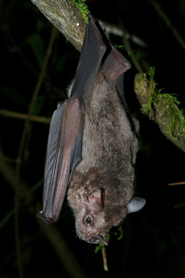 Jamaican fruit bat, Artibeus jamaicensis, By Karin Schneeberger alias Felineora (Own work) [CC-BY-SA-3.0 (http://creativecommons.org/licenses/by-sa/3.0)], via Wikimedia Commons