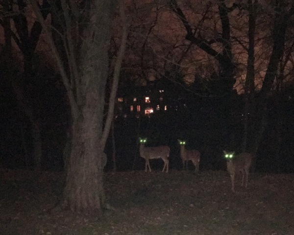 Deer on Mass Ave
