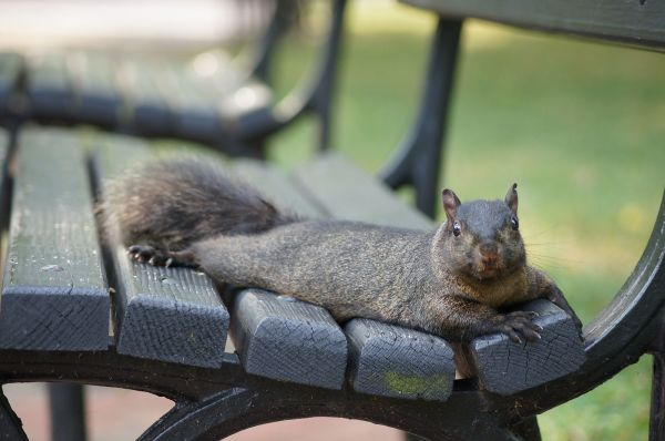 Eastern Gray Squirrel in Lafayette Square, Washington, DC. (c) Sebastian Wallroth, via Wikimedia Commons