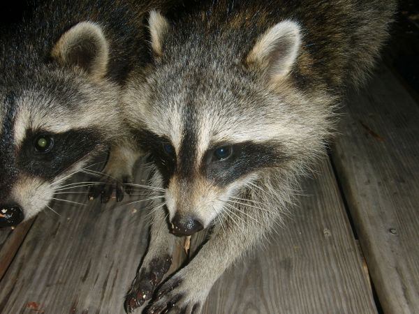 Young_raccoon_siblings