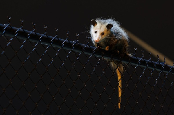 opossum_at_night_by_Eric_Kilby.jpeg